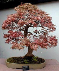 Japanese Maple #Bonsai Tree