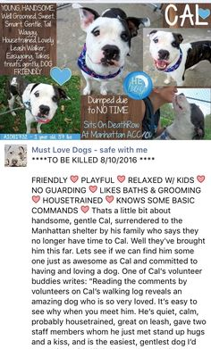 SAFE❤️❤️ 8/10/16 Manhattan Center CAL – A1081732 MALE, BR BRINDLE / WHITE, AM PIT BULL TER MIX, 1 yr OWNER SUR – EVALUATE, HOLD FOR ID Reason NO TIME Intake condition EXAM REQ Intake Date 07/28/2016 http://nycdogs.urgentpodr.org/cal-a1081732/