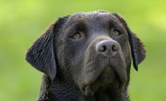 Labrador Retriever obedience training resources