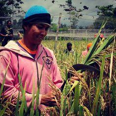 Sugi menuai benih padi organik Sertani 1 @P4S Karunia Alam Sejahtera
