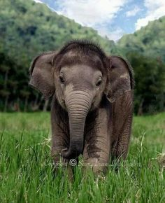 Baby Elephant love the fuzzy head! Cute Creatures, Beautiful Creatures, Animals Beautiful, Cute Baby Animals, Animals And Pets, Funny Animals, Baby Elefant, Elephant Love, Asian Elephant