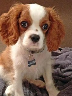 Oliver the Cavalier King Charles Spaniel