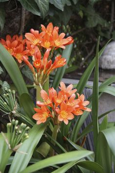 Spring in Hungary, Clivia