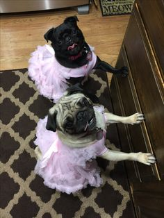 My little Ballerinas, Evee (fawn), and Darla (black) Pugs waiting for their treats.
