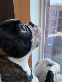 Boston Terrior, Boston Terrier Love, Animals And Pets, Baby Animals, Cute Animals, Cute Dogs And Puppies, Doggies, Puppy Pictures, Peta