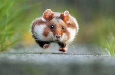 Rush Hour Hamster