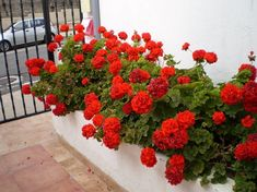 Spring is a good time to plant, and bulbs are some of the best plants you can plant for spring. Azaleas Landscaping, Home Landscaping, Geranium Flower, Red Geraniums, Recycled Garden, Garden Pests, Exotic Plants, Red Flowers, Houseplants