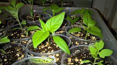 Seit dem Umtopfen (vor etwas mehr als einer Woche) haben die Chili- und… Chili, Plants, Chile, Plant, Chilis, Planets