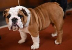 English Bulldog health problems prompt cross-breeding call BBC News Bulldog Puppies For Sale, English Bulldog Puppies, British Bulldog, English Bulldogs, French Bulldogs, Loyal Dog Breeds, Loyal Dogs, Terrier, Olde English Bulldogge