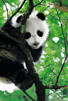 pandas are the perfect animal, theyre black and white, theyre adorable, theyre vegitarians, and the best of all, theyre chunky!