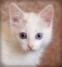 White odd eye kitten
