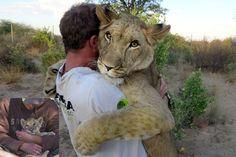 Depuis trois ans, l'Allemand Valentin Gruener est presque père. En février 2012, le co-fondateur de la réserve de Modisa, au Botswana, a recueilli une petite lionne très mal en point. Ses deux frères étaient décédés, et la jeune femelle avait été abandonnée par les lions adultes, promise à une mort certaine. Mais le petite fauve, qui pesait moins d'1,9 kilos, a été sauvé par Valentin et son collègue Mikkel Legarth: nourrie au biberon, Sirga est depuis passée à la viande crue. Reconnaissante…