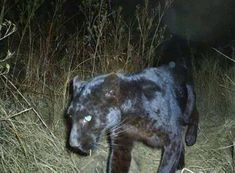 Black Panther caught on game camera in Clay Co., West Virginia
