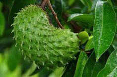 El té de estas hojas es más potente que la quimioterapia para tratar el cáncer - ConsejosdeSalud.info