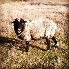 Sheep at Bodega Ridge on Galiano Island, BC.