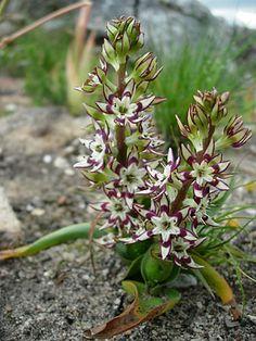 wurmbea variabilis
