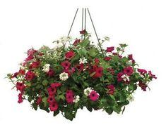 Hanging Basket 8 Sun Container Recipe