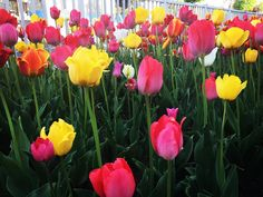 many many tulips������ チューリップたくさん���� #tulips #tulip #チューリップ #ちゅーりっぷ #花 #�� #flower #flowerstagram #flowers #flowerslovers #flowerporn #flowerpower #instaflower #ig_japan #igersjp #jp #jp_gallery #ig_photooftheday #jp_views_flowershot #sapporo http://gelinshop.com/ipost/1518788128167950926/?code=BUT0cF0h_pO