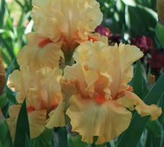 "(Harold Stahly 2000) Tall bearded iris, 33"" (84 cm), EM Ruffled medium tangerine orange self; beards tangerine; slight lemon fragrance. Sdlg. 95-3: 84-44: (Sun Fire x 73-106: (Orange Chariot x Barcelo"