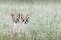 Jackals in the Kalahari in South Africa Photo and caption by Dale Morris @Smithsonian Magazine
