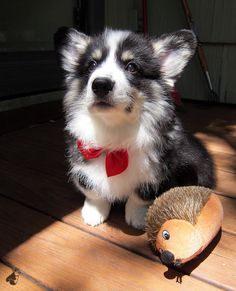 pudge the corgi, all ready for his prom date