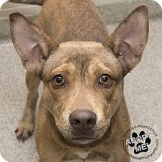 Urgent! I am at a very full, high kill shelter inTroy, OH - Pit Bull Terrier Mix. Meet Ryder, a dog for adoption. http://www.adoptapet.com/pet/16935691-troy-ohio-pit-bull-terrier-mix