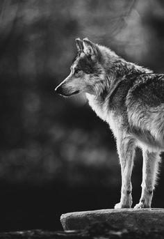 AMAZING WOLF! #love #wolf #amazing
