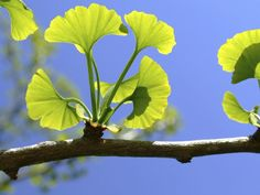 A double-blind, placebo-controlled, randomized controlled trial shows Gingko Biloba aids in stroke recovery.