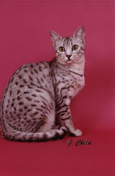 Egyptian Mau cat- I will have one some day.