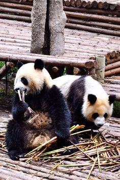 Cuddle a Panda | Hold a Panda | Chengdu | China | Travel | Volunteer with a Panda | Volunteer Programs | Baby Panda | #panda #chengdu #china #travel China Travel Destinations | China Honeymoon | Backpack China | Backpacking | China Vacation | China Photography | Asia #travel #honeymoon #vacation #backpacking #budgettravel #bucketlist #wanderlust #China #Asia #visitChina #TravelChina #ChinaTravel Time Photography, Wildlife Photography, Animal Photography, Baby Panda Bears, Baby Pandas, China Vacation, Sichuan China, Panda Panda, Visit China