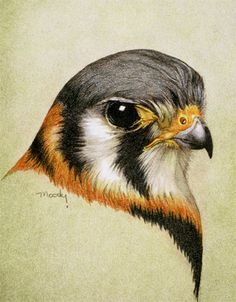 Kestrel - colored pencil