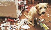 Imagem de 15 situações que todo dono de cachorro bagunceiro conhece muito bem no megacurioso