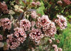 Little Devil Ninebark, 'Donna May', planted in the southeast corner by the air conditioner