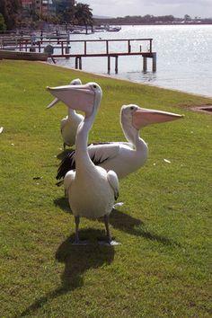 Pelicans at Maroochydore, QLD Australia