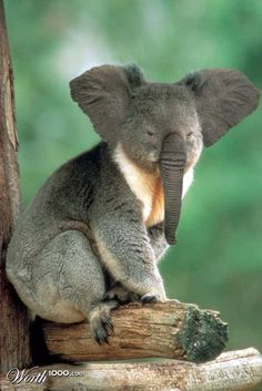 "Koala + Elephant = KOALAPHANT (""Animal Crossbreed"" Worth1000 Contest Entry)"