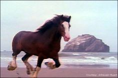 Clydesdale Running