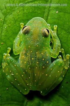 Slope-Snouted Glass Frog (Cochranella Euknemos). Beautiful Uncommon Glass Frog Of Costa Rica, Panama And Colombia