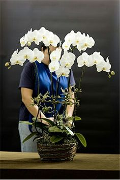Phalaenopsis orchid display