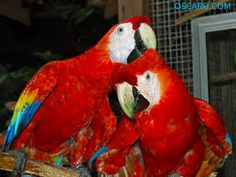 Parrot Birds (Scarlet macaw,Blue and gold Macaws and African Grey)