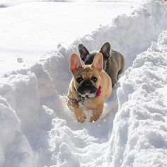 French Bulldogs in the Snow❤️❤️ @bluelagoonfrenchies