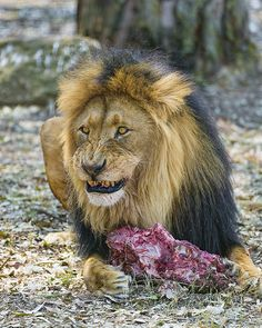 nice A male lion and his meat