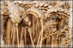 Wheat by  Kristina Moller, Flickr