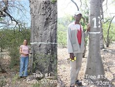 Measuring the girth of Baobab trees Baobab Tree, Have Time, Conservation, Professor, Environment, University, Trees, Number, Natural