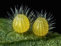 David Millard, Common Mestra butterfly (Mestra amymone) eggs, laid on a leaf of Tragia sp. (Noseburn plant). Incident Illumination, Image Stacking. 7.5x (objective lens magnification). Courtesy of Nikon.