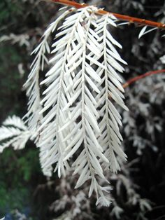 Albino Redwood (We don't normally see albino plants, because they can't photosynthesize without any pigment. In this case, the albino sprout has grown among the roots of a larger redwood, and is sustained by it.)