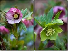 Image result for hellebore flowers