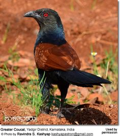Greater Coucal, Yadgir District, Karnataka, India