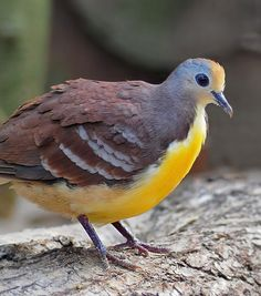 cinnamon ground dove, Gallicolumba rufigula, also known as the golden-heart dove.