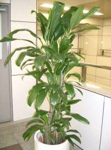 Mejores 81 Imagenes De Plantas De Interior En Pinterest Indoor - Plantas-de-interior-verdes