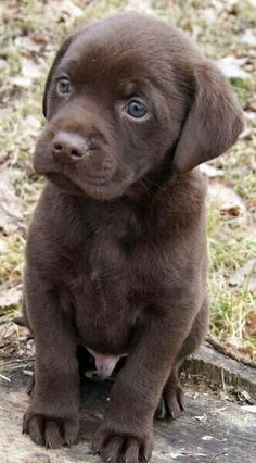 Adorable Chocolate Labrador Retriever puppy.This is the color I want next,only a female.